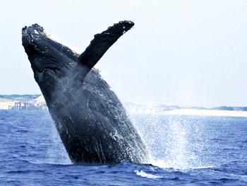 ザトウクジラの画像 p1_39
