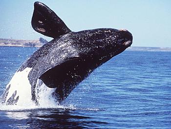 セミクジラの画像 p1_1